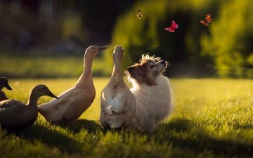 light, grass, nature, rays, summer, dog, glade, insects, birds, puppy, butterfly, company, duck, friends, lawn, home, cute