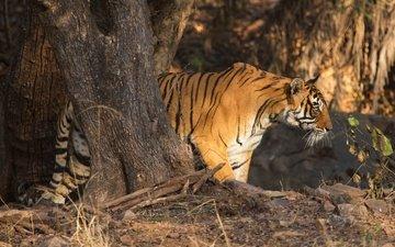 тигр, дерево, хищник, профиль, дикая кошка