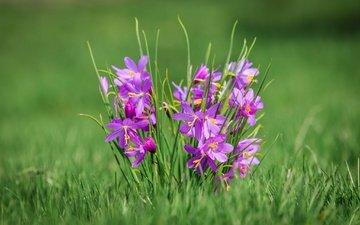 цветы, трава, макро, боке, олсиниум, олсиниум дугласа
