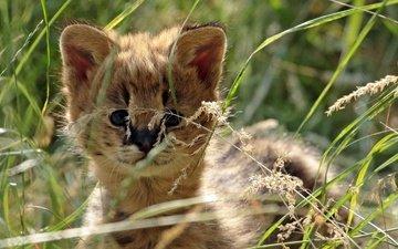 трава, мордочка, взгляд, хищник, малыш, дикая кошка, сервал