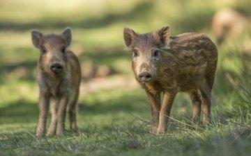 трава, пара, кабан, свинья, хрюшки