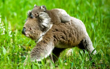 трава, природа, детеныш, медвежонок, коала, коалы