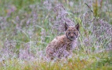 grass, plants, lynx, muzzle, look, baby, cub