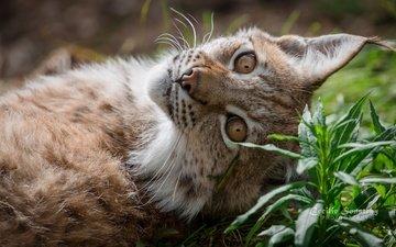 face, grass, lynx, look, ears