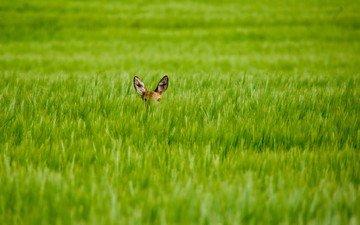 трава, олень, взгляд, размытость, уши, олененок