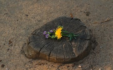 flowers, clover, sand, cracked, dandelion, stump