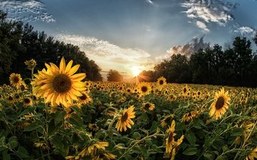 the sky, flowers, clouds, trees, morning, summer, sunflowers, yellow flowers