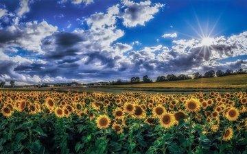 небо, облака, утро, поле, лето, подсолнухи, желтые цветы
