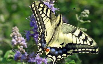 flowers, insect, butterfly, wings, swallowtail
