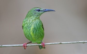 branch, bird, beak, turquoise tanager-honeyeater