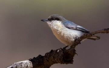 branch, bird, beak, nuthatch, nuthatch-baby
