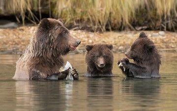 вода, река, рыбалка, медведи, обед, медведица, медвежата