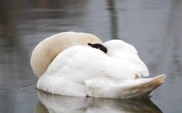 вода, сон, белый, птица, отдых, перья, красивый, лебедь