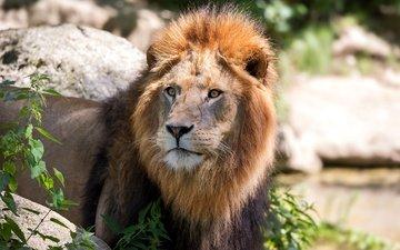 морда, взгляд, хищник, лев, грива, дикая кошка