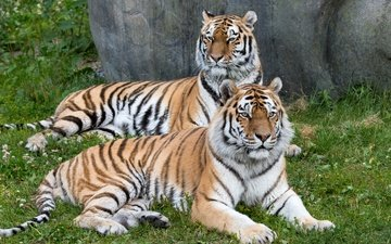 морда, трава, взгляд, хищник, пара, дикая кошка, тигры