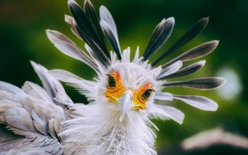 взгляд, птица, клюв, перья, птица-секретарь