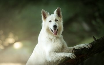 look, dog, language, bokeh, the white swiss shepherd dog
