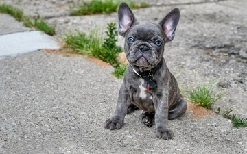 muzzle, look, dog, puppy, collar, bulldog, french bulldog