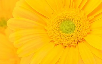 yellow, macro, flower, petals, gerbera
