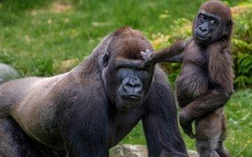 зоопарк, детеныш, горилла, приматы, обезьяны