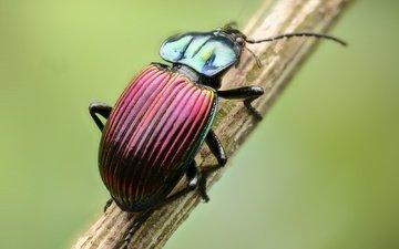beetle, macro, insect, stem