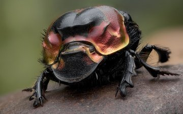 beetle, insect, legs, dung beetle