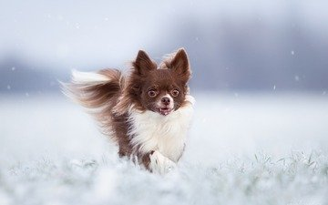 winter, dog, chihuahua