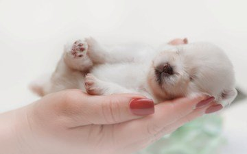 dog, sleeping, puppy, hands, baby, spitz