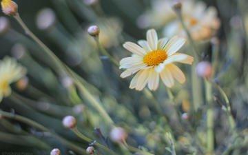 цветы, размытость, ромашки, patrice thomas