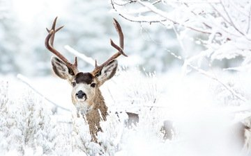 snow, forest, deer, winter, branches, frost, horns
