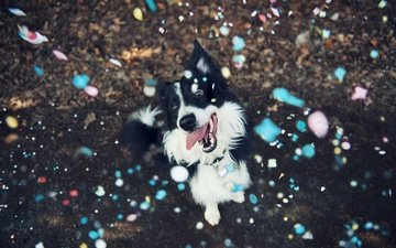 muzzle, look, dog, language, the border collie, confetti