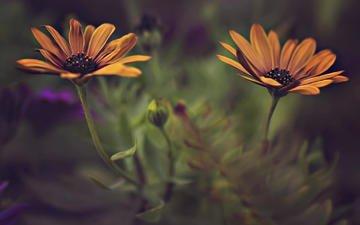 цветы, лепестки, размытость, стебли, dina telhami, остеоспермум