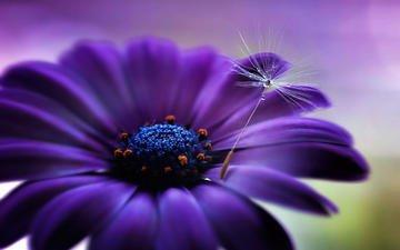 цветок, капли, лепестки, пушинка, гербера, jarmila vymazalová