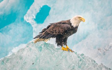 ice, iceberg, eagle, predator, bird, beak, feathers, alaska, bald eagle