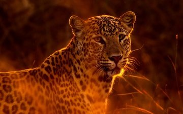 face, look, leopard, predator, wild cat