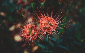 цветы, цветение, макро, лепестки, красные, пестики, амариллис, cluster amaryllis