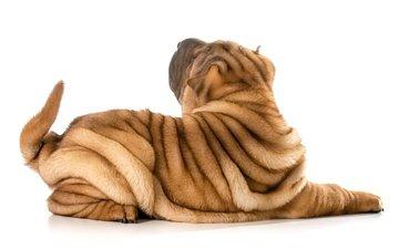 dog, white background, tail, sharpay