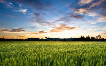 the sky, clouds, field, horizon, ears, wheat