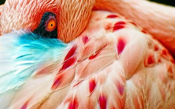 macro, flamingo, bird, feathers, eyes