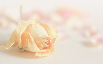 flower, rose, petals, blur, bud