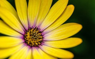 macro, flower, petals, yellow, gerbera