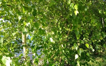 trees, water, river, the sun, tree, leaves, rays, foliage, summer, birch