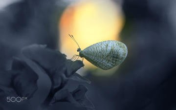 insect, flower, butterfly, wings, alfian ismail
