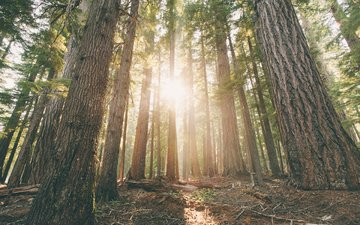 trees, forest, the rays of the sun, trunks, dawn, pine, oregon