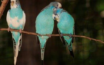 ветка, птицы, клюв, перья, попугаи, волнистые