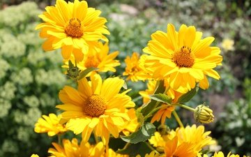 flowers, petals, bokeh, yellow flowers, heliopsis