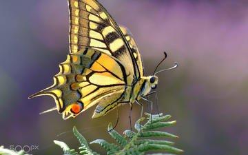 насекомое, бабочка, крылья, растение, gorka orexa