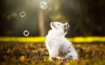 природа, парк, листва, осень, собака, щенок, голубые глаза, мыльные пузыри, австралийская овчарка, аусси