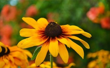 yellow, flower, petals, rudbeckia