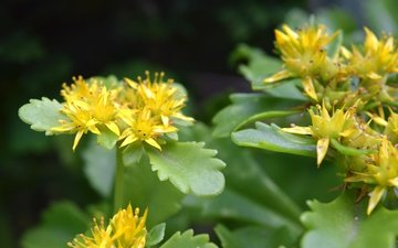 leaves, macro, plant, yellow flowers, stonecrop